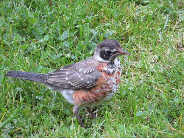 American Robin juvenile
