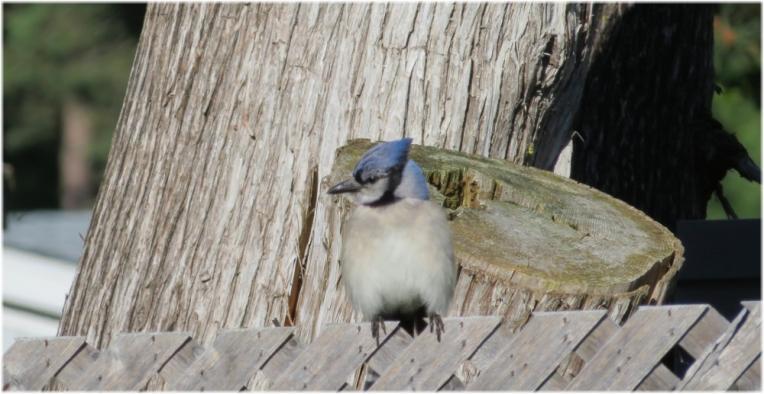 Blue Jay - Alert
