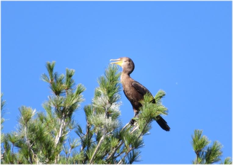 The cormorant boss