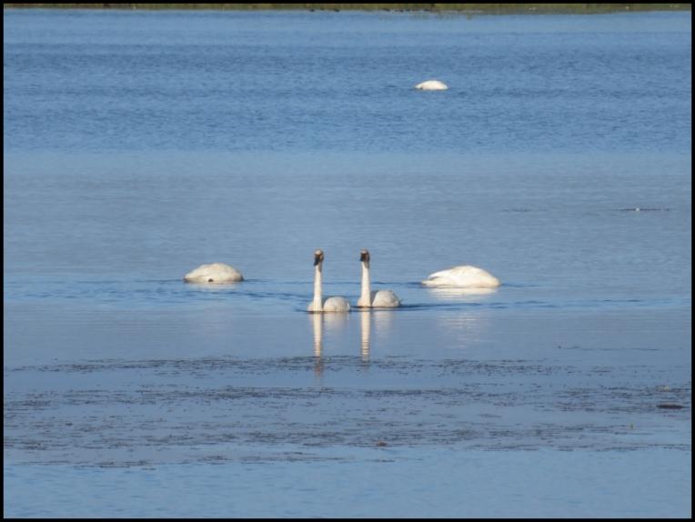 Feeding in pair, swiming in pair