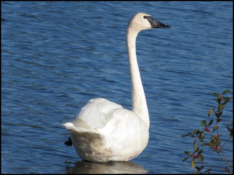 Trumpeter swan incredible long neck