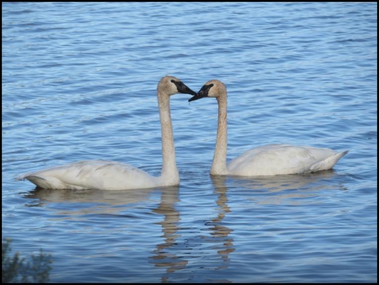 Trumpeter swan lovely pair