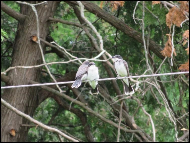 Eastern Kingbird family