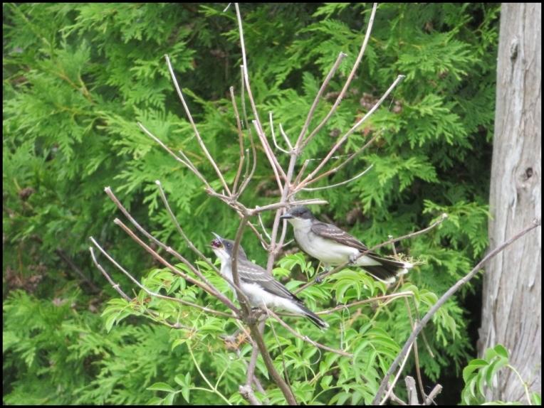 Eastern Kingbird mother feeding her chick