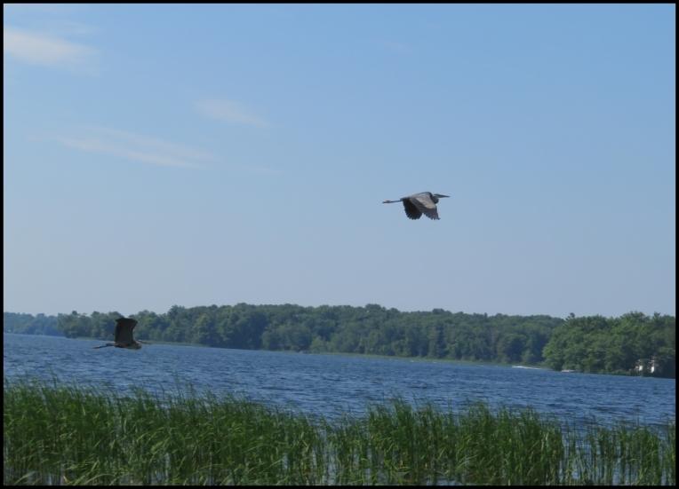 Flying Blue heron pair
