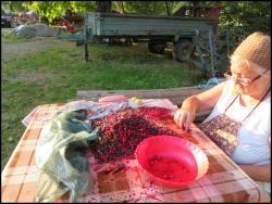 Sorting the berries