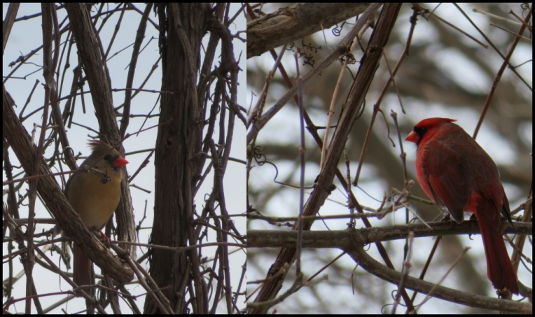 The Riverwood Conservancy - Cardinals