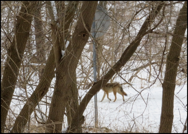 Coyote in The Riverwood Conservancy