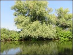 Sulina - pristine tree