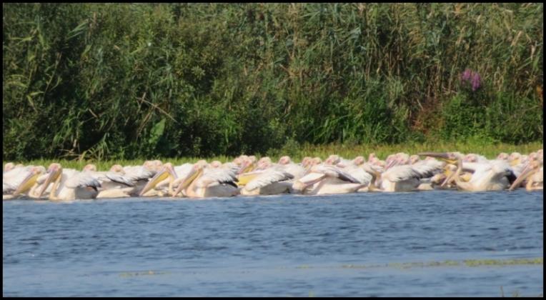 Mahmudia - great white pelicans