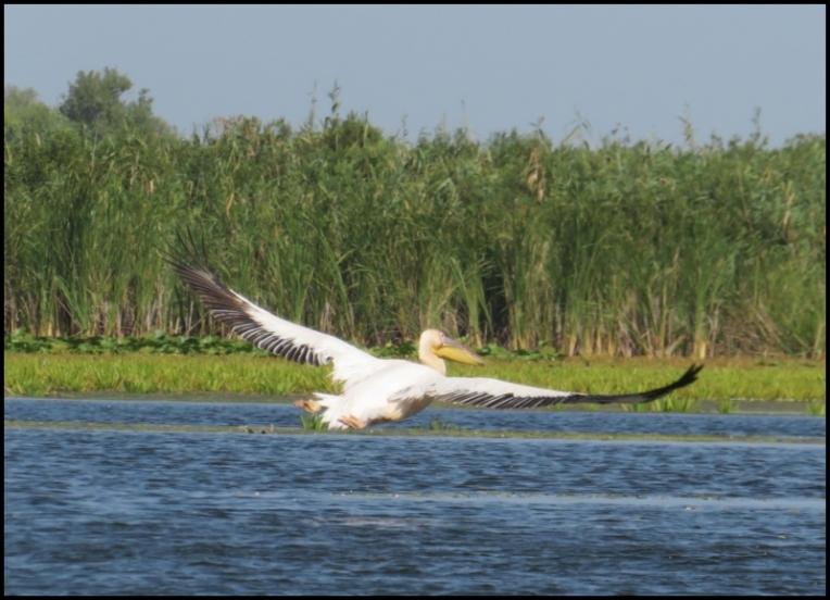 Mahmudia - pelican flying
