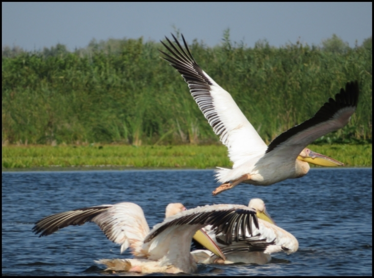 Mahmudia - pelicans 3