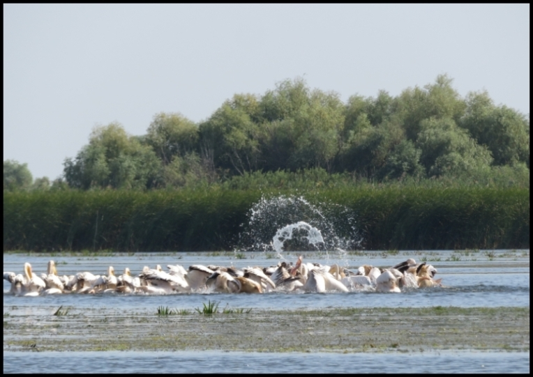 Mahmudia - pelicans fighting fiecely to catch food