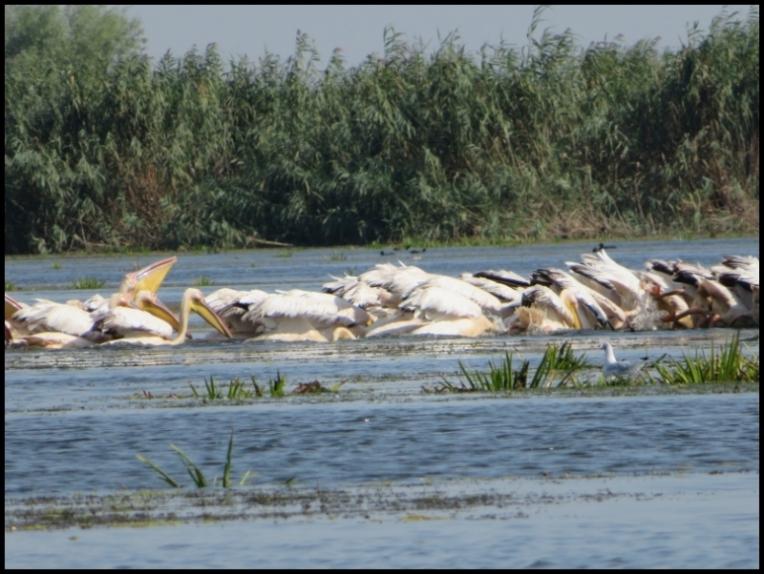 Mahmudia - pelicans gulping the catch