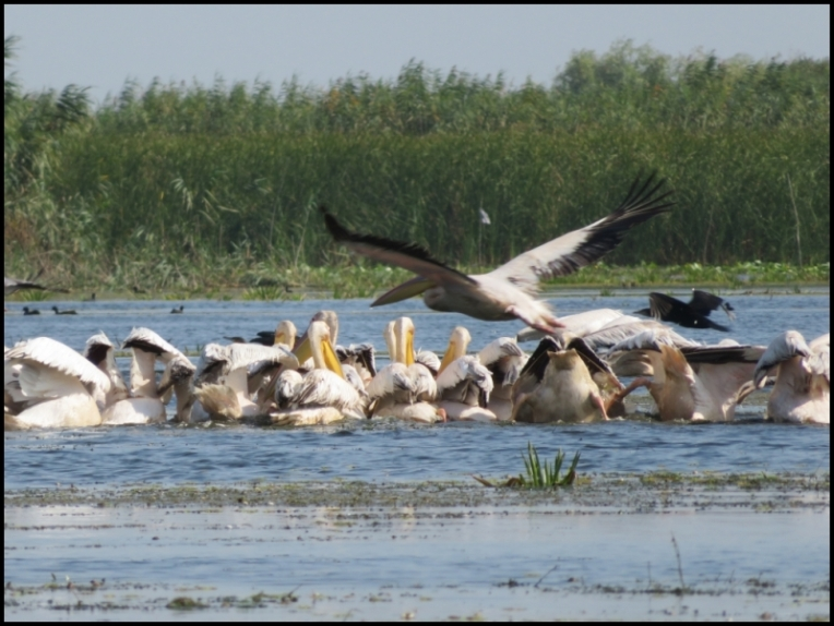 Mahmudia - pelicans searching for food