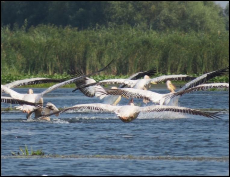 Mahmudia - pelicans taking off