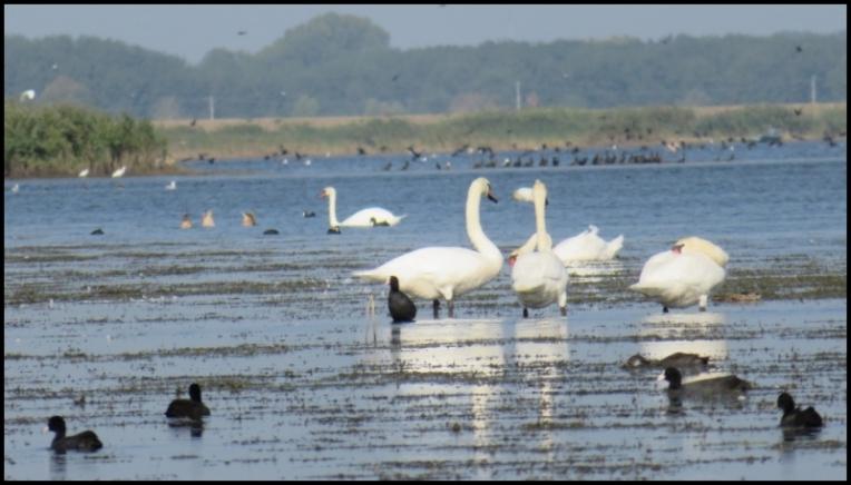 Mahmudia - Swans, Eurasian coots, ducks