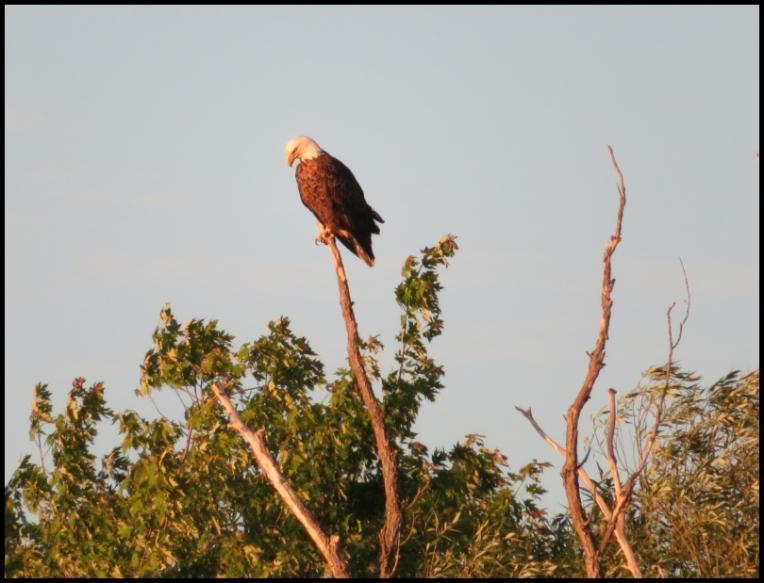 Pembroke-Bald Eagle