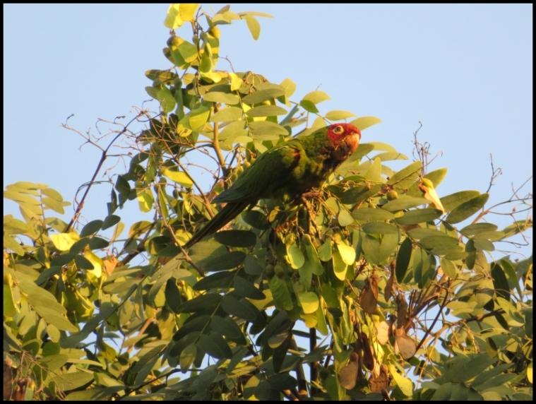 The red-masked parakeet
