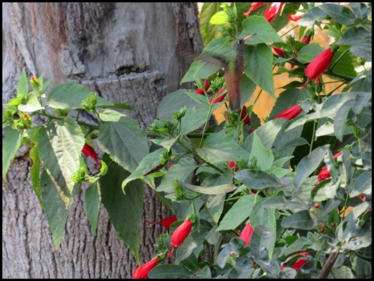 Lima - Amazilia hummingbird