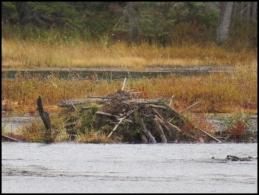 Beaver pond trail - Beaver lodge, close view