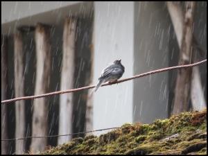 Aguas Calientes - Bird singing in the rain