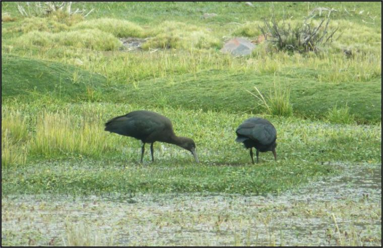Tocra swamps - Puna ibis