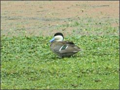 Tocra swamps - Puna teal