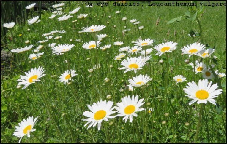 Ox-eye daisies - Leucanthemum vulgare