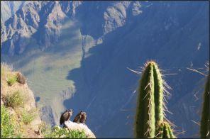 Colca Canyon, Condor cross - Andean condors, juveniles