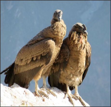 Colca Canyon, Condor cross - Andean condor, juveniles