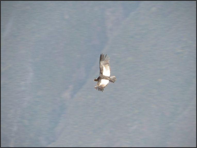 Colca Canyon, Mirador Cruz del Condor - Condor, adult soaring the canyon