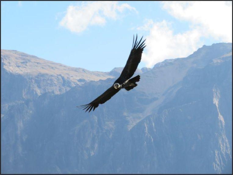 Colca Canyon, Mirador Cruz del Condor - Condor, adult soaring the sky
