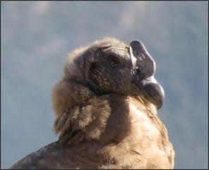 Colca Canyon - Condor, juvenile