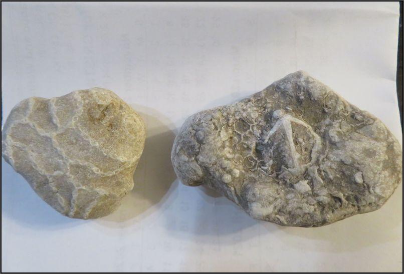 Halysites (chain corals) and Favosites (Honeycomb corals)