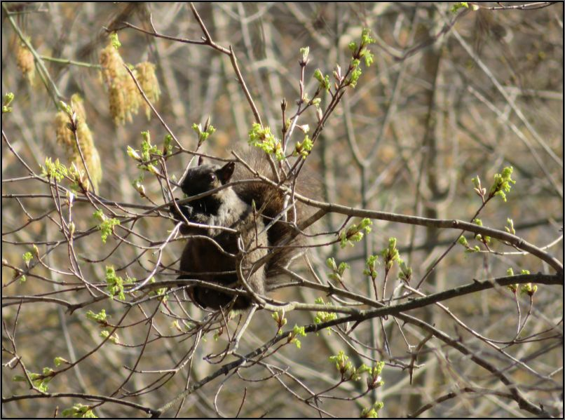 black squirrel