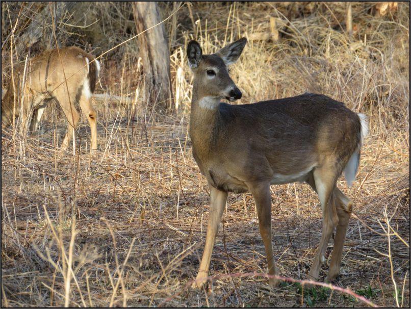 white tail deers